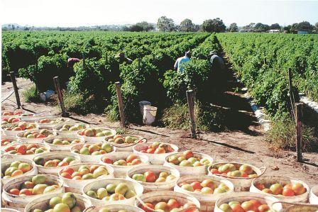 Tomato Picking 7